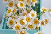 ✿ Daisies ✿