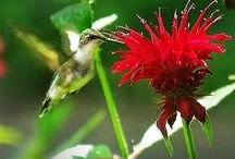 Hummingbirds / A closer look at plants to attract hummingbirds and feeders to keep them humming.