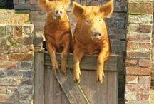 Varkens-Pigs / Leuke plaatjes over varkens