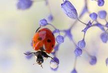 ~ Ladybugs ~ / Marihøner