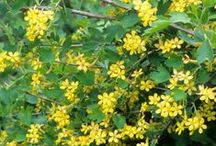 Shrubs for Rocky Mountain Landscapes / Beautiful and hardy shrubs for the Teton Valley and surrounding regions.