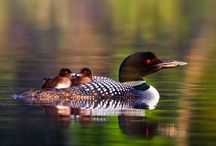 Loons / by KELLY HAMSON