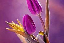Tulips / Tulipani - Tulipes - Tulpen