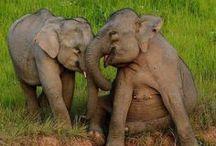 Elephants & Rhinos / Every 15 minutes we lose an elephant for Ivory!