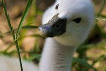 Ducks & Swans & Chicks