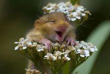Marmots & Little Mice