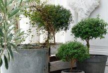 olive tree decorations / olive tree deco