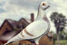 Show Antwerp pigeon