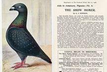 show homer pigeon