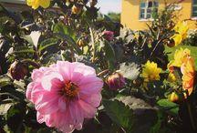 Planter i min have / En liste over de blomster der er i min have
