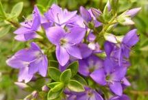 Groundcover plants from Jacksons Nurseries / The perfect plants for covering up any part of ground you have