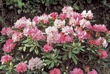 """Rhododendrons / Rhododendrons are grown for their abundant clusters of spectacular large flowers, usually borne in spring above an impressive structure of spirally arranged leaves. They come in both evergreen and deciduous varieties and are widely used as ornamental plants, best situated to a sheltered position in dappled shade. Azaleas are different from """"true"""" rhododendrons in that they are smaller-sized, small-leaved and smaller-flowered shrubs, although they do show beautiful autumn colour."""