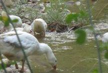 Λίμνη με πάπιες και κύκνους / Ο επισκέπτης λοιπόν μπορεί να ηρεμήσει και να απολαύσει την ηρεμία και την ξεγνοιασιά που προσφέρει το τοπίο και η λίμνη. Να παρατηρήσει τη συμπεριφορά, των όμορφων αυτών πτηνών, να τις ταΐσει και να ταξιδέψει μαζί τους νοητά, διώχνοντας κάθε σκέψη και έγνοια που τον απασχολεί.