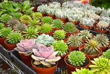 Succulents / Lovely succulents for inspiration at The Original Los Angeles Flower Market.