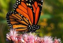 B U T T E R F L Y / Ideas for butterflies and butterfly gardens / by Coastal Maine Botanical Gardens