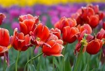 Flowers:Tulips