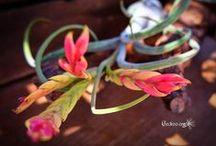 Tillandsia / Plantes épiphytes d'amérique centrale et du sud de la famille des broméliacées, accrochées dans les arbres ou posés sur des pierres, elles se nourrissent par leurs feuilles #bromeliaceae #tropicales