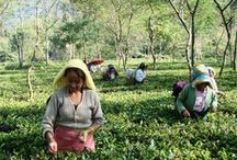 Lebensbaum Tea Fields Darjeeling