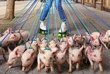 świniuczki