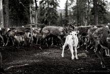 Reindeers / Reindeer photos