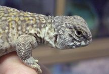 Lizards / Here's a selection of lovely lizards. Some we keep in stock at evolutions reptiles and some we just liked the photos!
