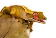 Geckos / Here are some of our favourite Gecko photos. To find out more about what great pets they make, check out our website.  http://www.evolutionreptiles.co.uk/products/care-sheets-snakes/crested-gecko-caresheet%20/