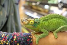Chameleons / Some beautiful pictures of chameleons, mostly taken at our shop.