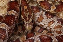 Colourful Corn Snakes / Here are a few photos of the amazing corn snakes that we have in our shop,