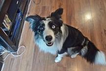 Border Collie Videos / Funny, informative and just plain cute videos of the world's best breed... border collies!