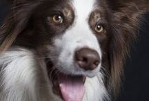 Border Collies / This a board about border collies! :)