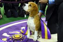 Westminster Kennel Club Photos / Photos from the Westminster Dog Show 2015 in New York
