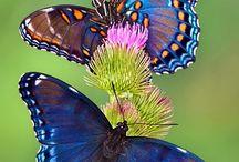 Butterflies / Στο μύθο η Ψυχή συνδέεται με την πεταλούδα και ο μύθος ερμηνεύεται βάσει αυτής της διπλής ιδιότητας. Είναι η ιστορία της ψυχής που αγγίζεται από τη θεία αγάπη, αλλά εξαιτίας των λαθών της πρέπει να υποβληθεί σε ορισμένες δοκιμασίες πριν επιτύχει την μακαριότητα της αθανασίας. Η νυχτοπεταλούδα που προσελκύεται από τη φλόγα, σαν την ψυχή που προσελκύεται από τις θεϊκές αλήθειες, καίει τα φτερά της.