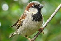 wróbel sparrow