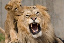 Lions & Tigers / Lions & Tigers / by Tracey S