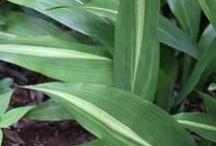 PDN Evergreen Shade Perennials / PDN sells more than 350 evergreen shade perennials.  Here are a few.