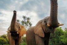 CARAS Elefantes