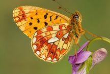Farfalle e bruchi