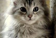 Sibirian cat