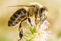 trzmiel pszczoła osa - bumblebee wasp bee