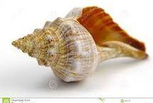 muszla - shell