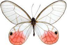 motyl - butterfly