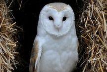 sowa Owl