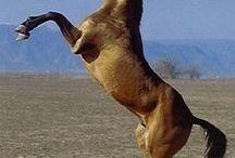 Akhal-Teké (Caballos de esa raza) / En este tablero encontraras fotos sobre esta magnifica raza de caballos.
