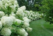 Our Work:  Shrubs / Woody Ornamentals in the Landscape