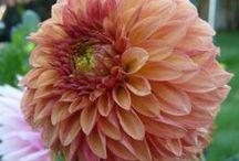 dahlia perzik roze
