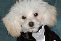 B. Oliver / White toy poodle puppy takes on the world, tiny toy poodle