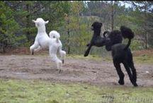 Flying Poodles / Flying Poodles