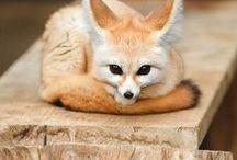 Fennec fox / (Vulpes zerda)