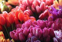Tulip / Tulpe