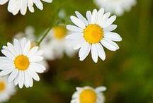 Herbal medicine / Βοτανοθεραπεία